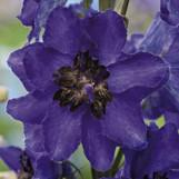 Delphinium Dark-Blue