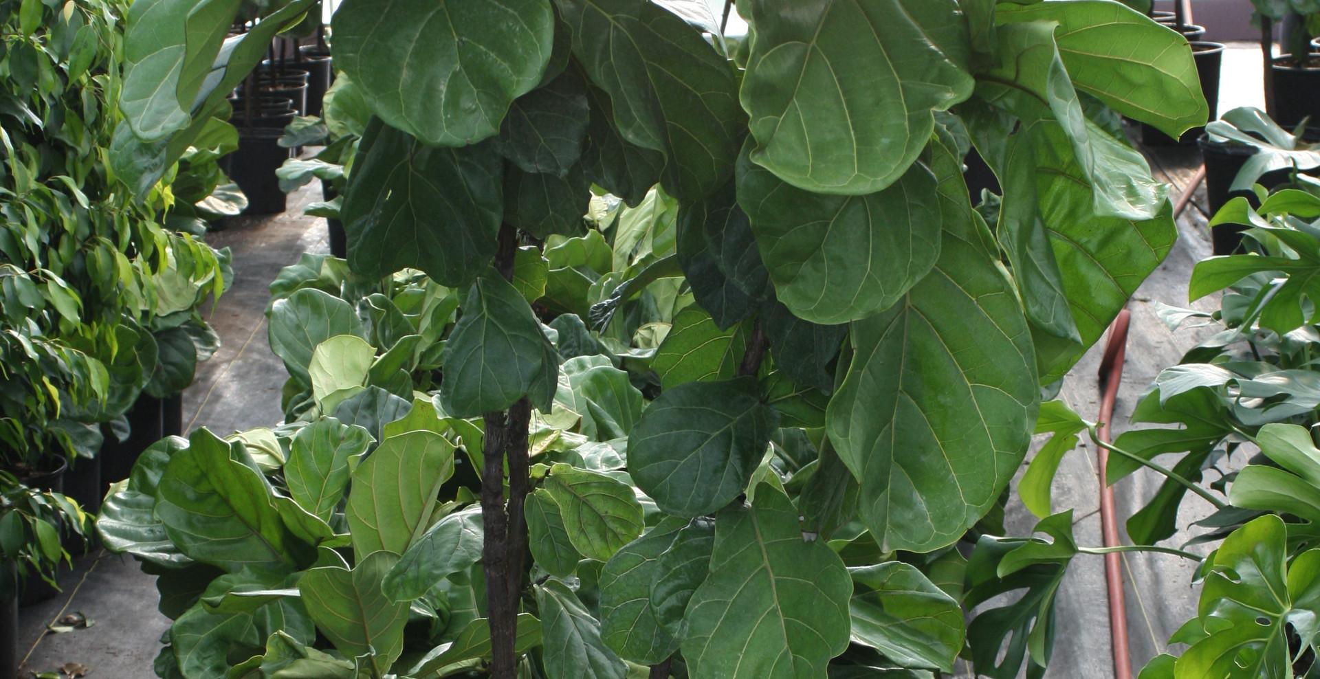 "Ficus Lyrata Std 14"""