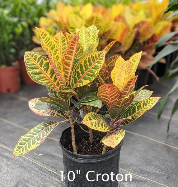 "Croton 10"""
