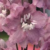 Delphinium Cherry-blossom