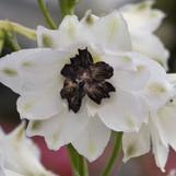 Delphinium White