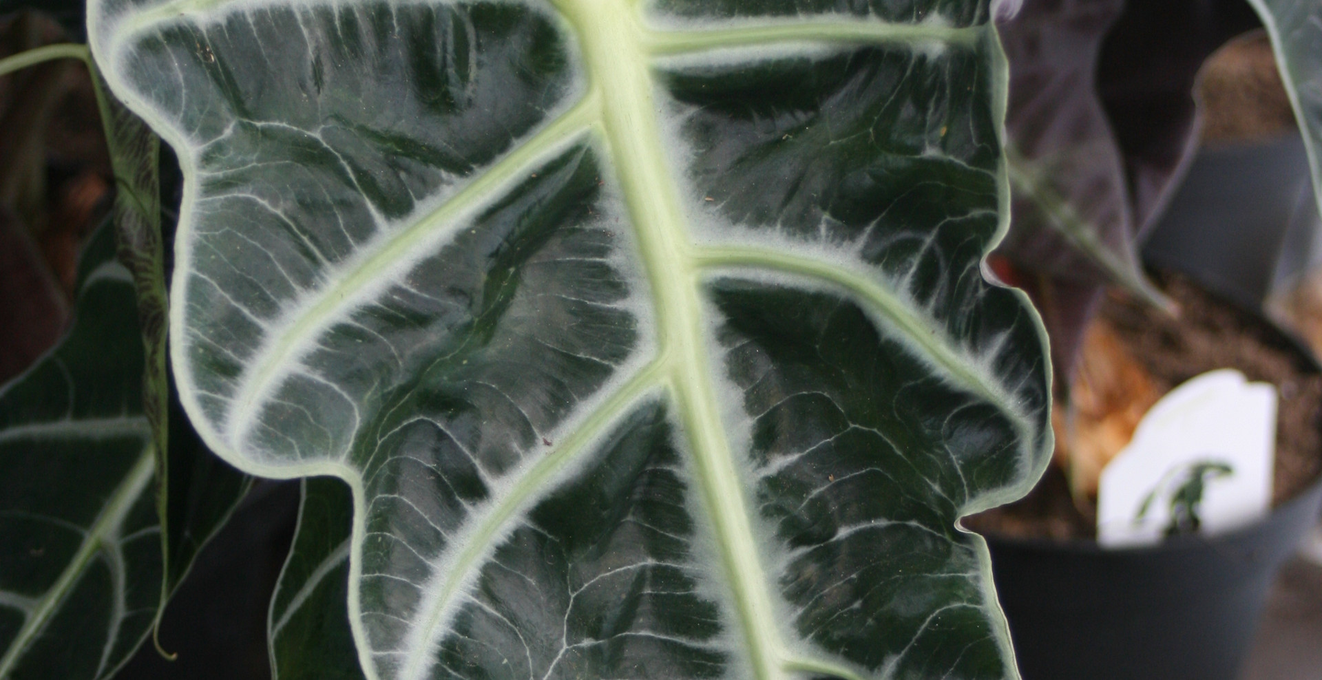 Alocasia Polly 10""
