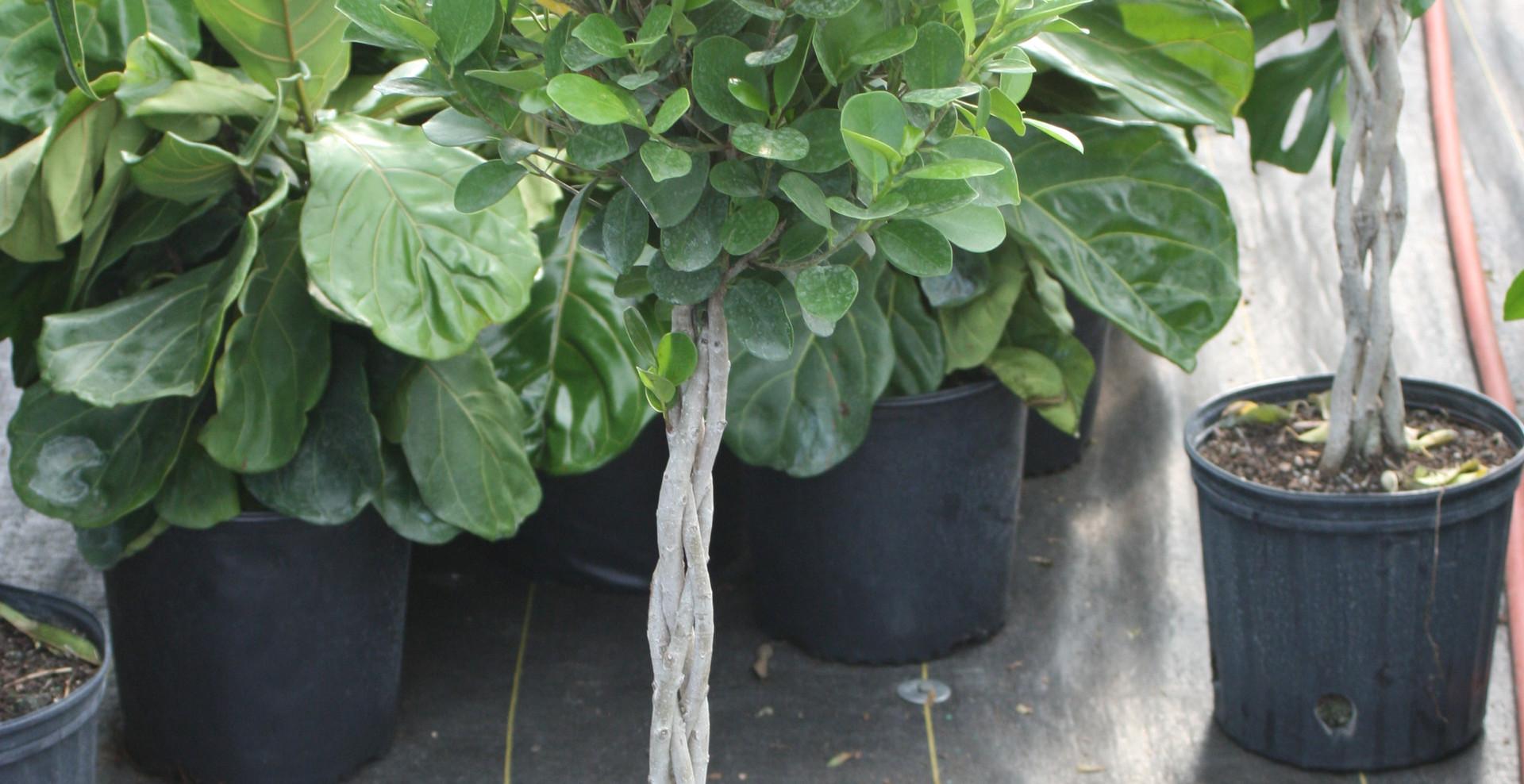 "Ficus Moclame Braid 10"""