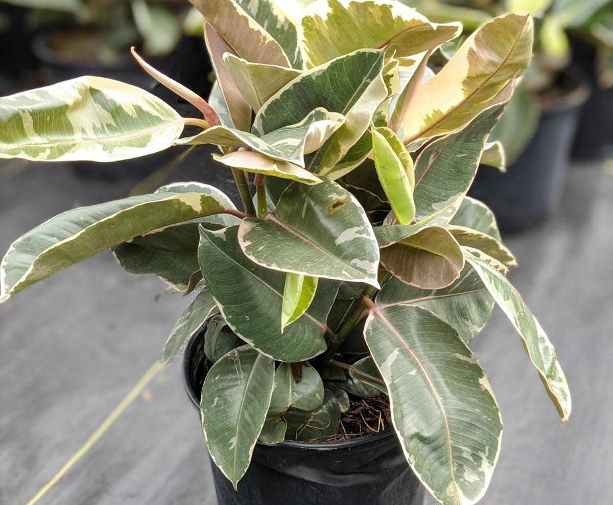 "Ficus Rubber Tineke  10"""