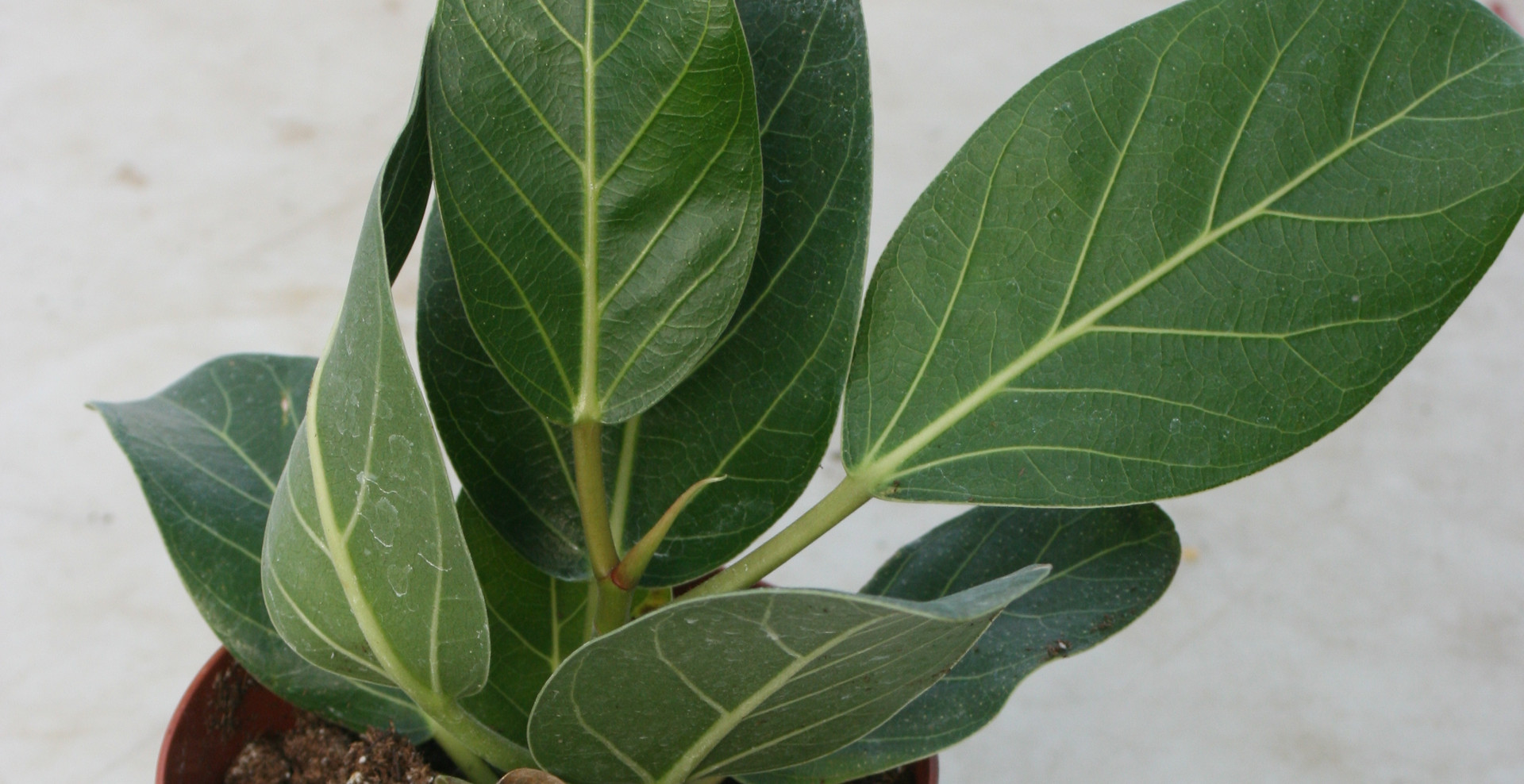 "Ficus Audrey 4"""