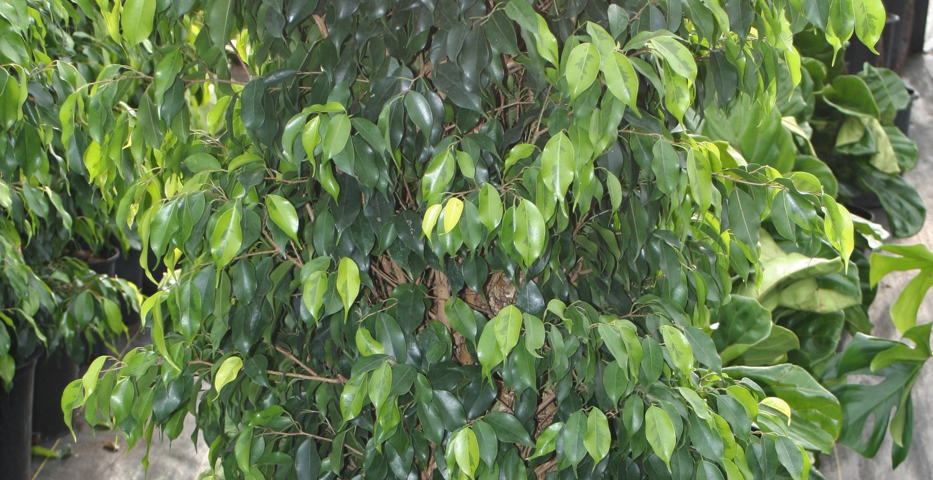 "Ficus Neon Column 14"""