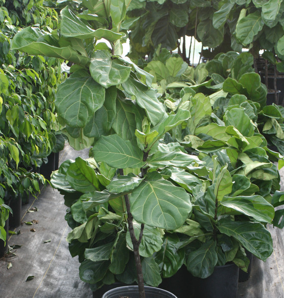 "Ficus Lyrata Std 12"""