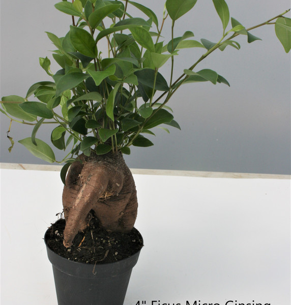 "Ficus Micro Ginsing 4"""