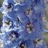 Delphinium Sky Blue
