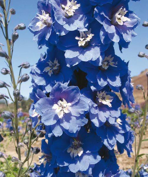 Delphinium Mid-Blue