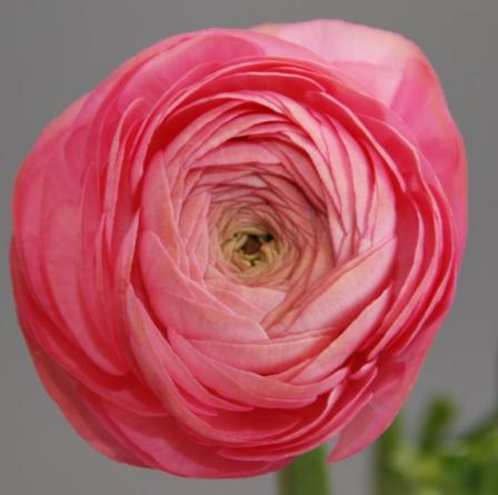 Ranuncula Rose