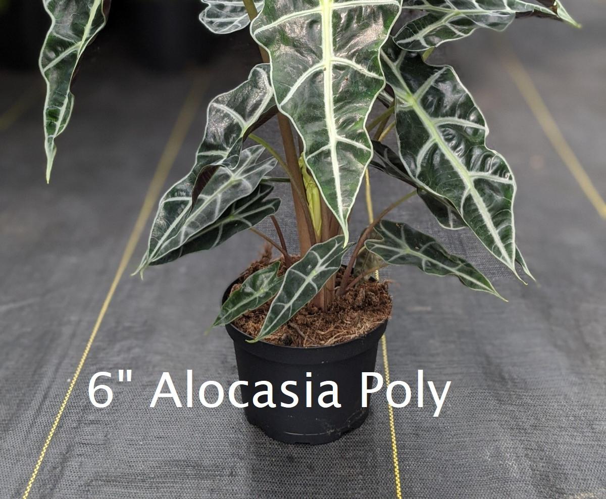 """Alocasia Poly 6"""""""