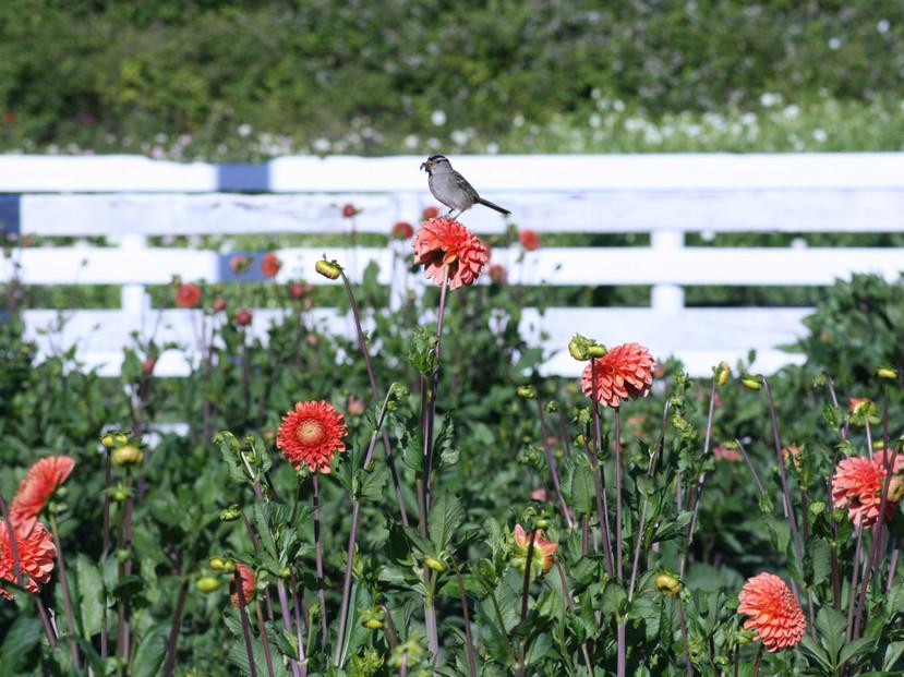 Dahlia Bird