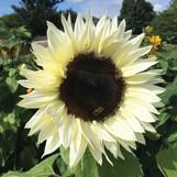White Nite Sunflower