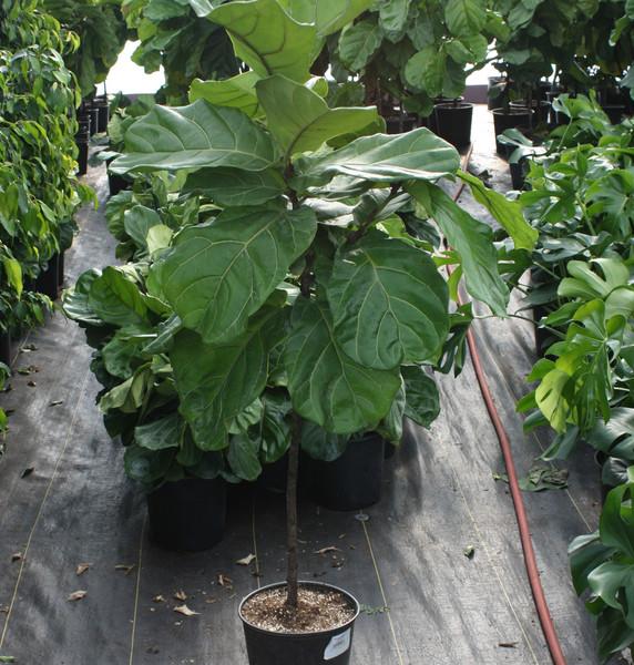 "Ficus Lyrata Standard 10"""