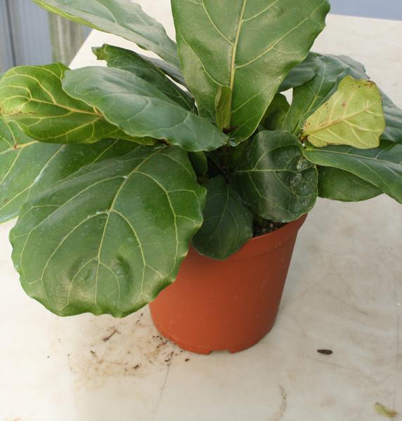 """Ficus Lyrata 6"""""""