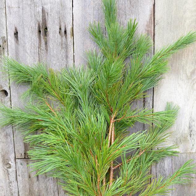 Pine White