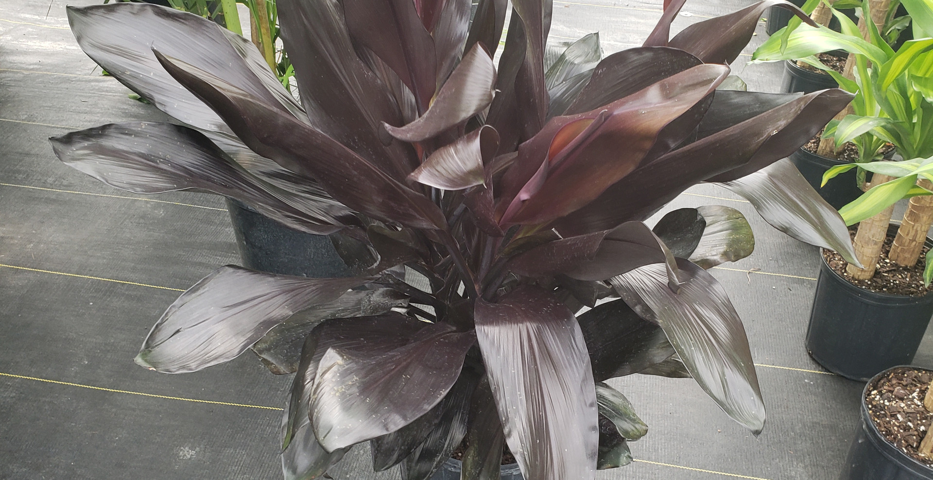 Cordyline Dark Wine 10""