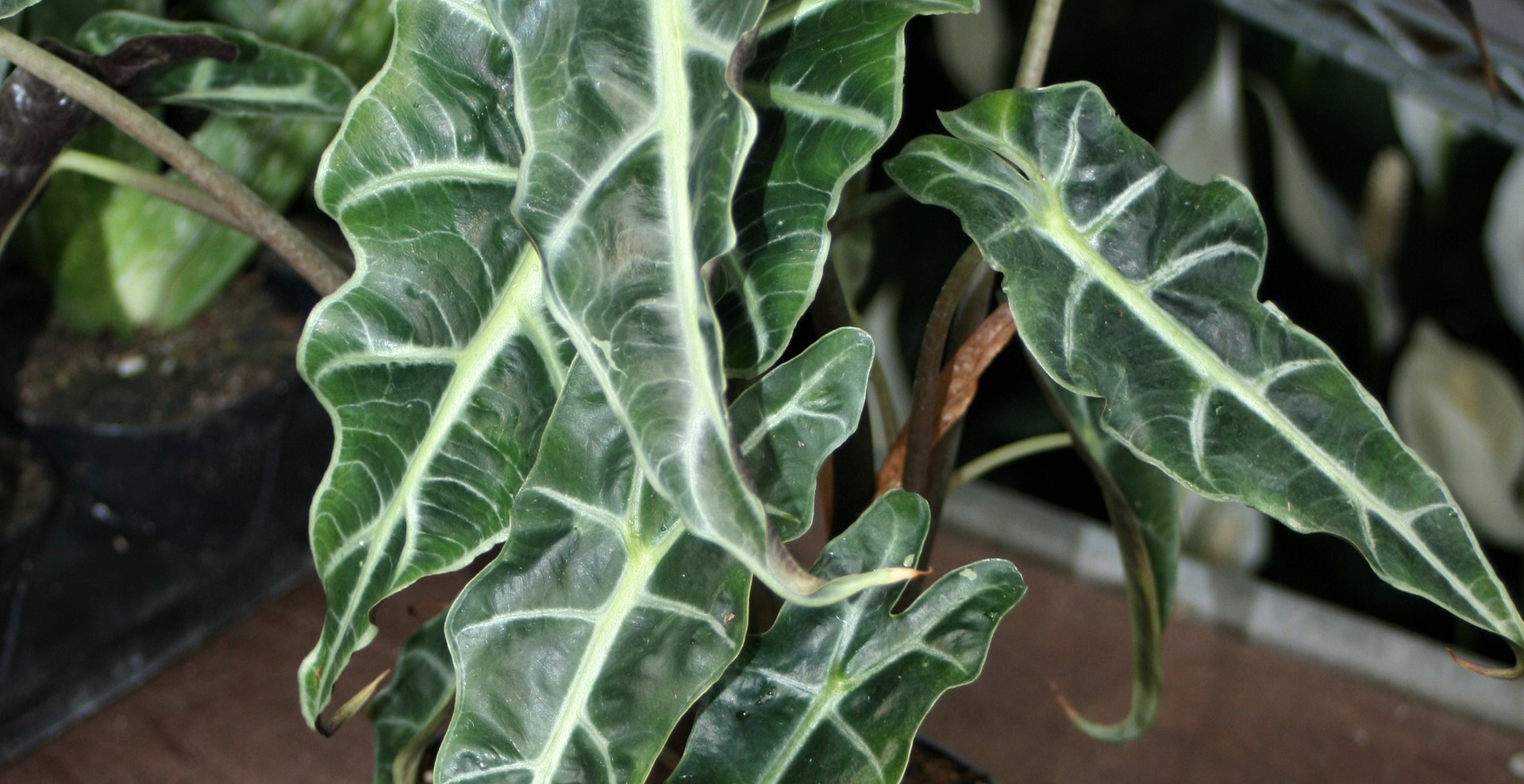 Alocasia Polly 6.5""