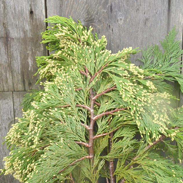 Cedar Incense