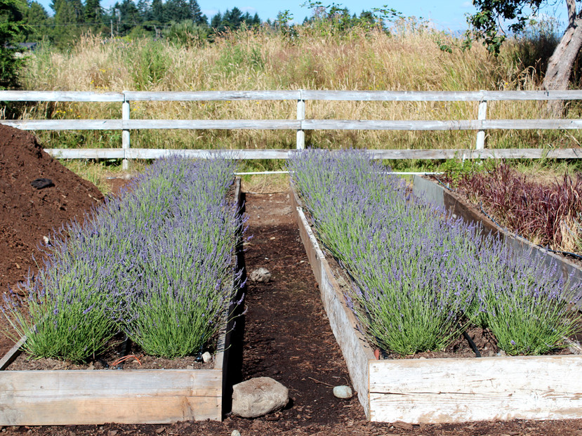 Lavender grown in boxes