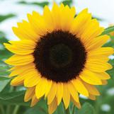 Sunflower Sunrich Orange
