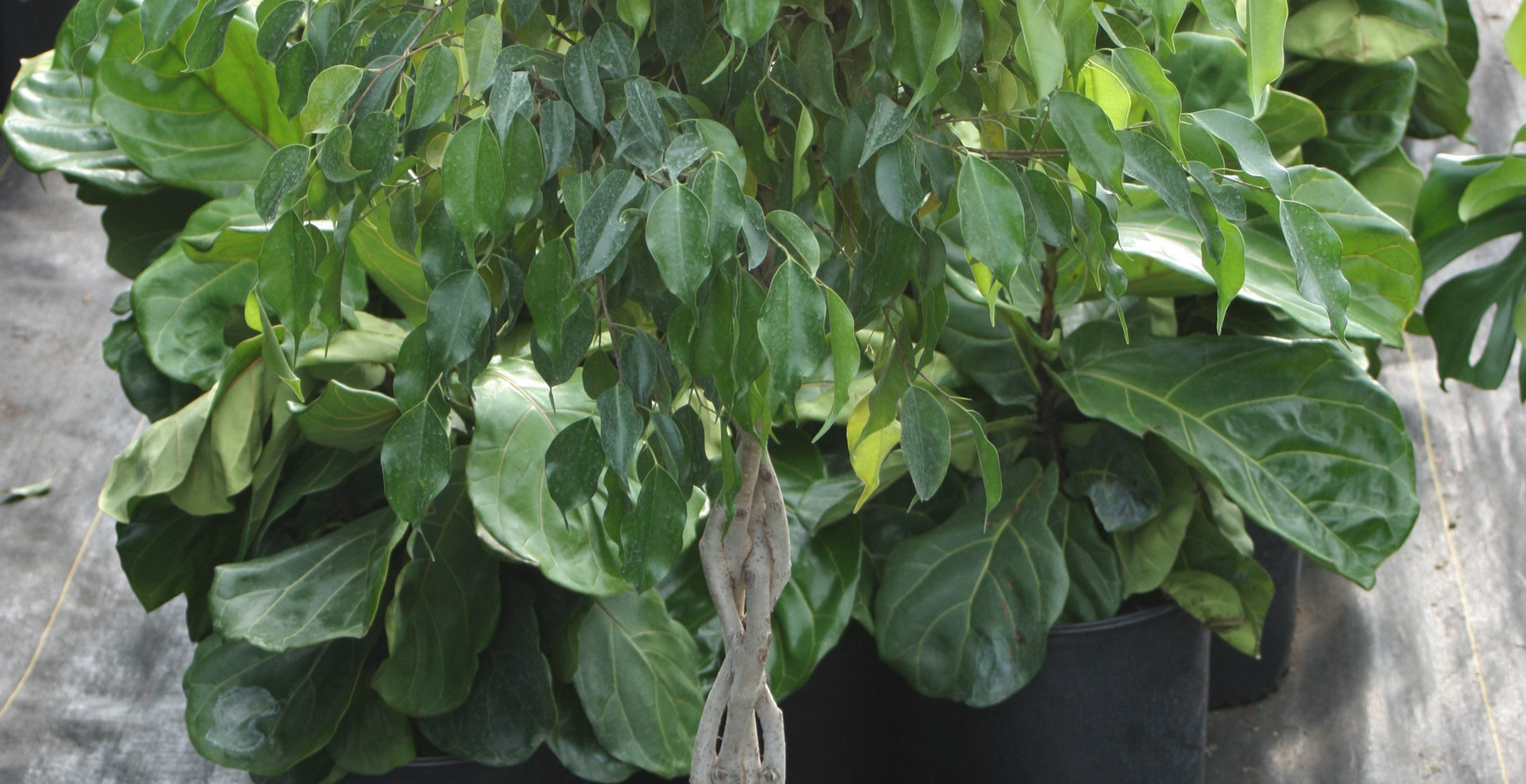 "Ficus Benjamina Braid 10"""