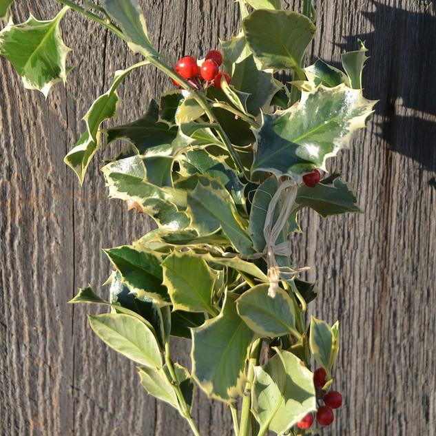 Varigated Holly