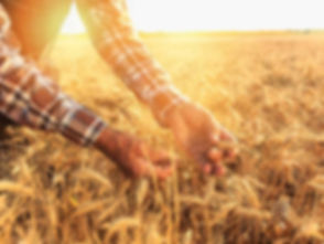 hands-and-sun-touching-wheat-thumb.jpg