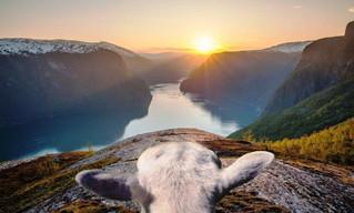Овцы продемонстрируют туристам красоты Норвегии