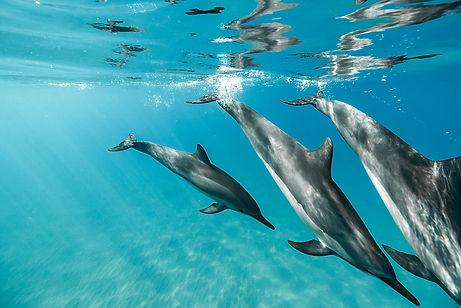 Hawaii Spinner Dolphins - ERIOCEAN.jpg