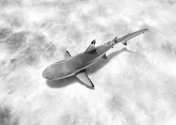 Black & White Shark, Tahiti, Mo'orea, Wall Print, Black and White Print