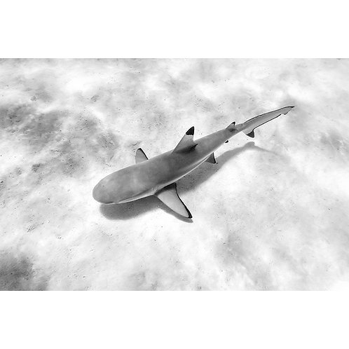 BLACK & WHITE MO'OREA SHARK