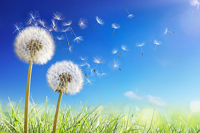 Common-Weed-Series-–-All-about-Dandelion