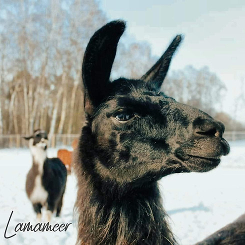 D 007/21: Tiergestütztes Führungskräftetraining mit Lamas