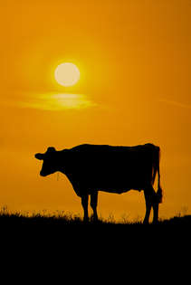 Silhouette of a cow with an orange cow