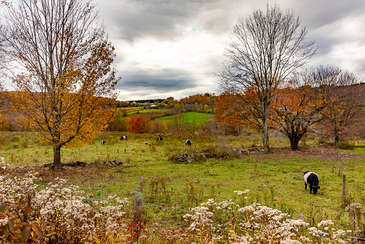 Cows in a field in late autum in Andes New York