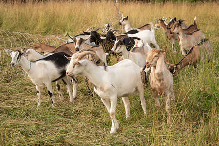 Goats in a field in the Catskills