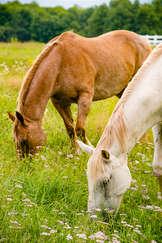 Horses grazing in the Catskills