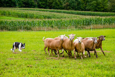 Herding dog herding sheep in Bovina New York