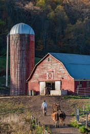 Red barn with a farmer and cows heading to the barn in the Catskills