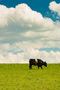 Cow in a field in the Catskills