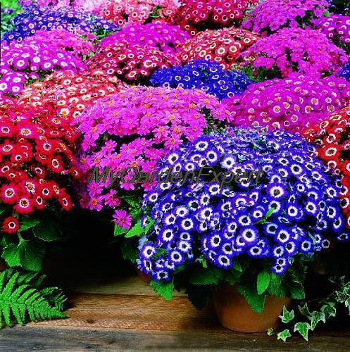 mélange de couleur,fleurs cinéraire
