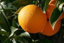 Orange navelate 100% / prix au kg