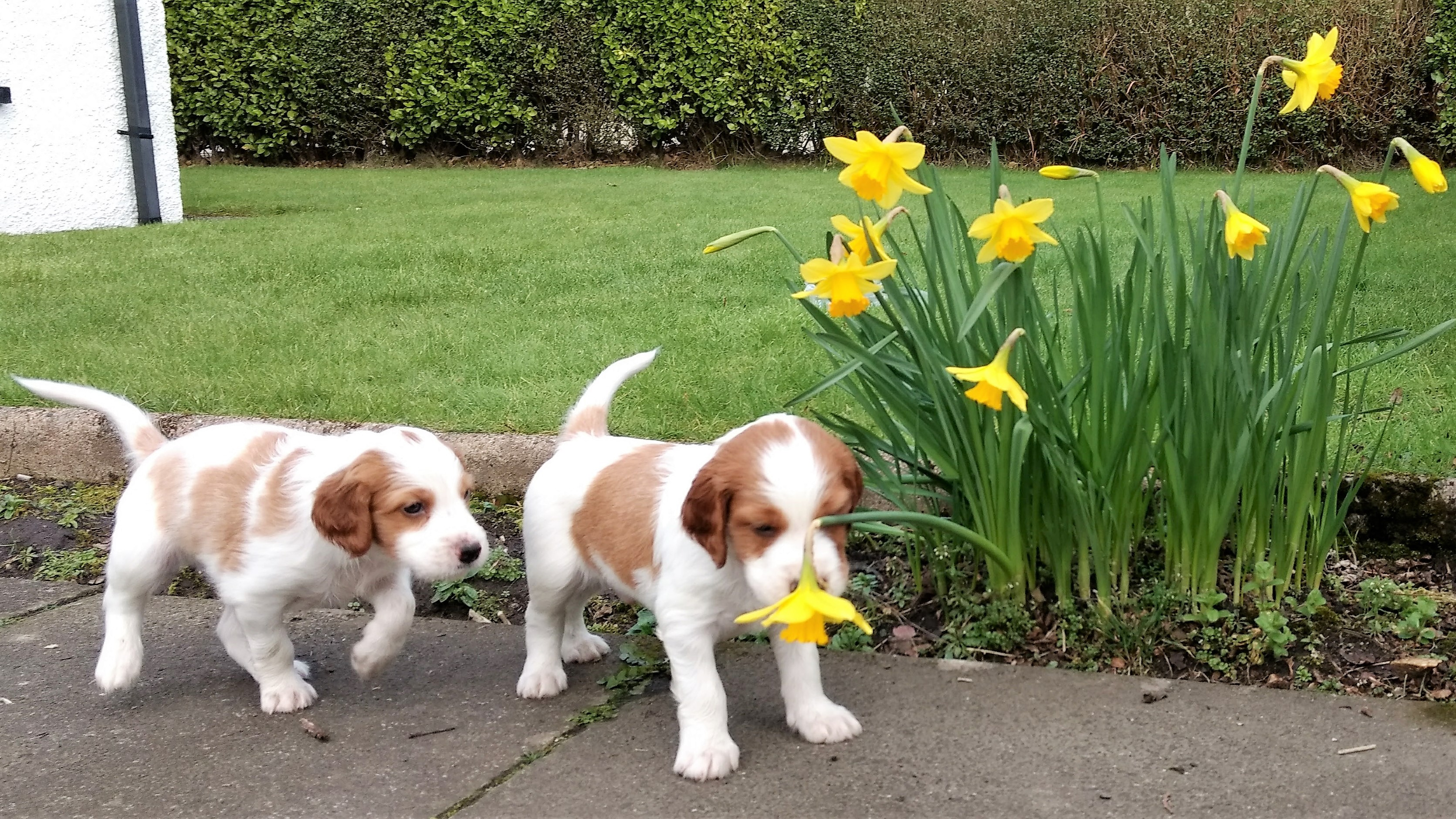 Boo and Bruce and the daffodils