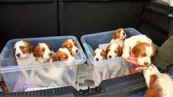 puppies in car with ruby attention