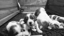 2 and a half week old IRWS puppies