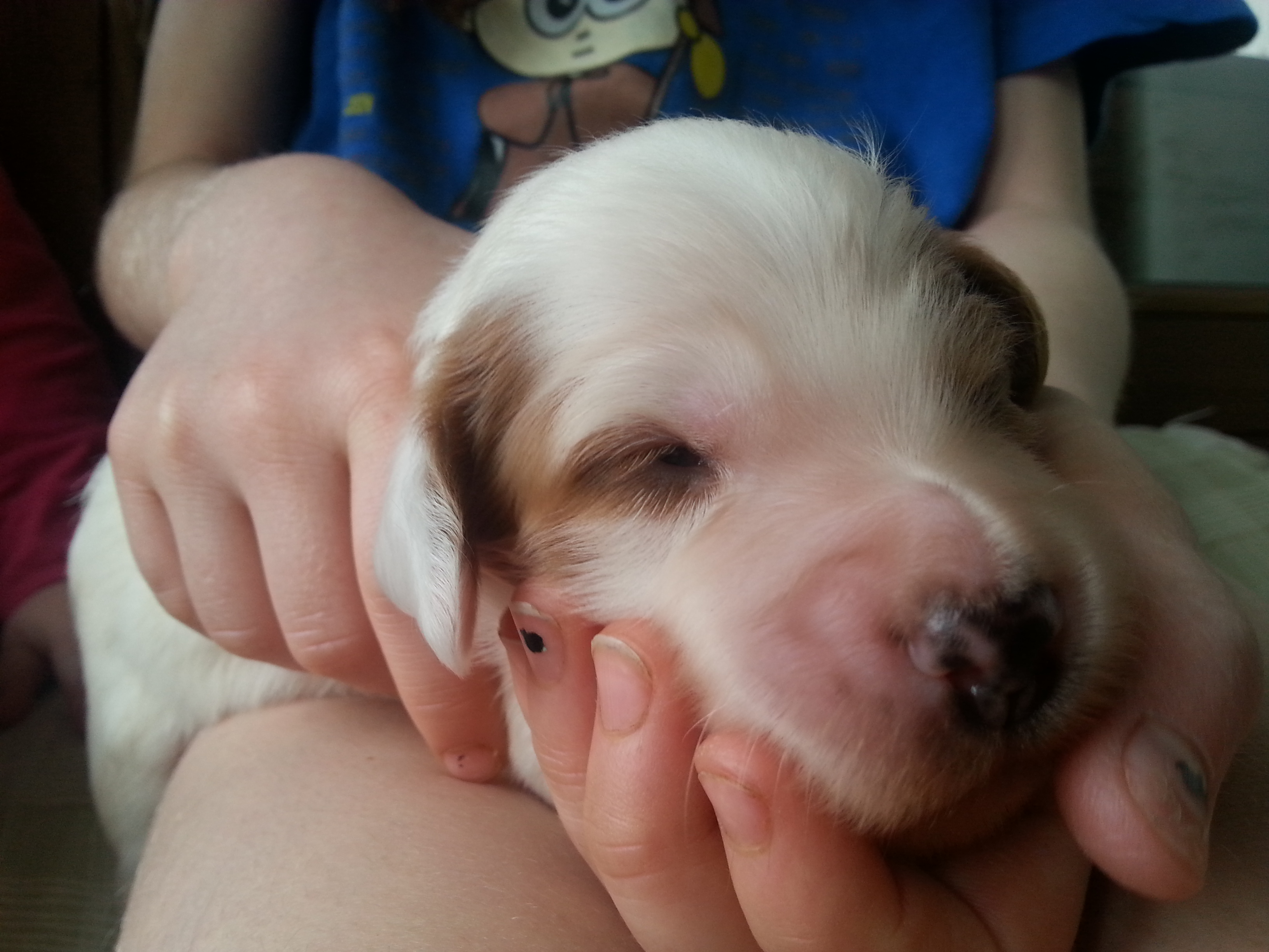 irish setter puppy_093247