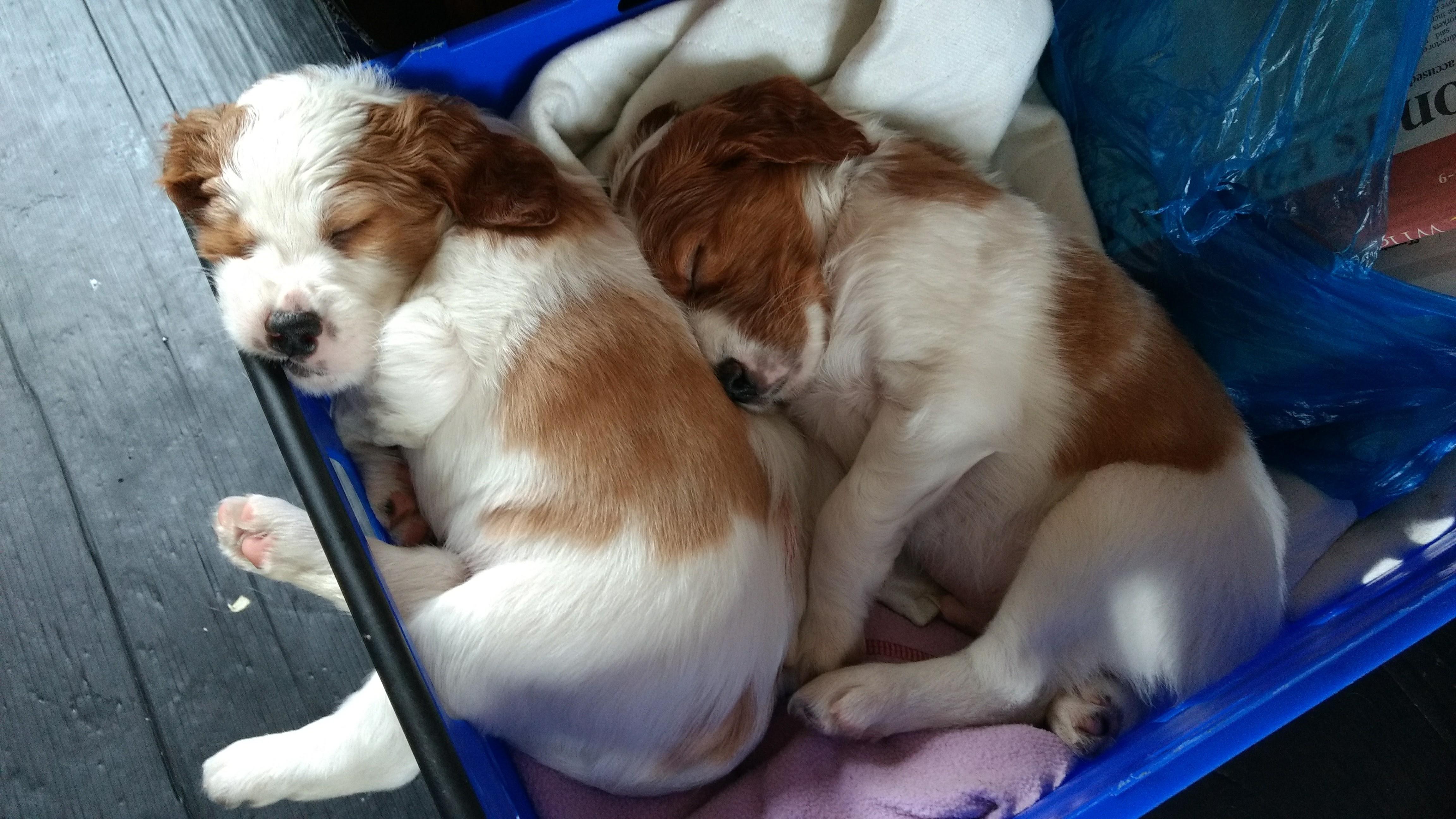 2 puppies 5 weeks asleep in blanket box