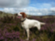 irish setter puppies 2016 red and white
